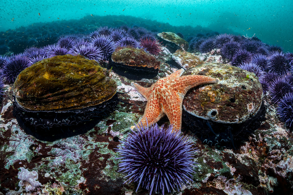 Red Abalone, Purple Urchins and a Leather Sea Star competing for space on a reef off the Mendocino Coast