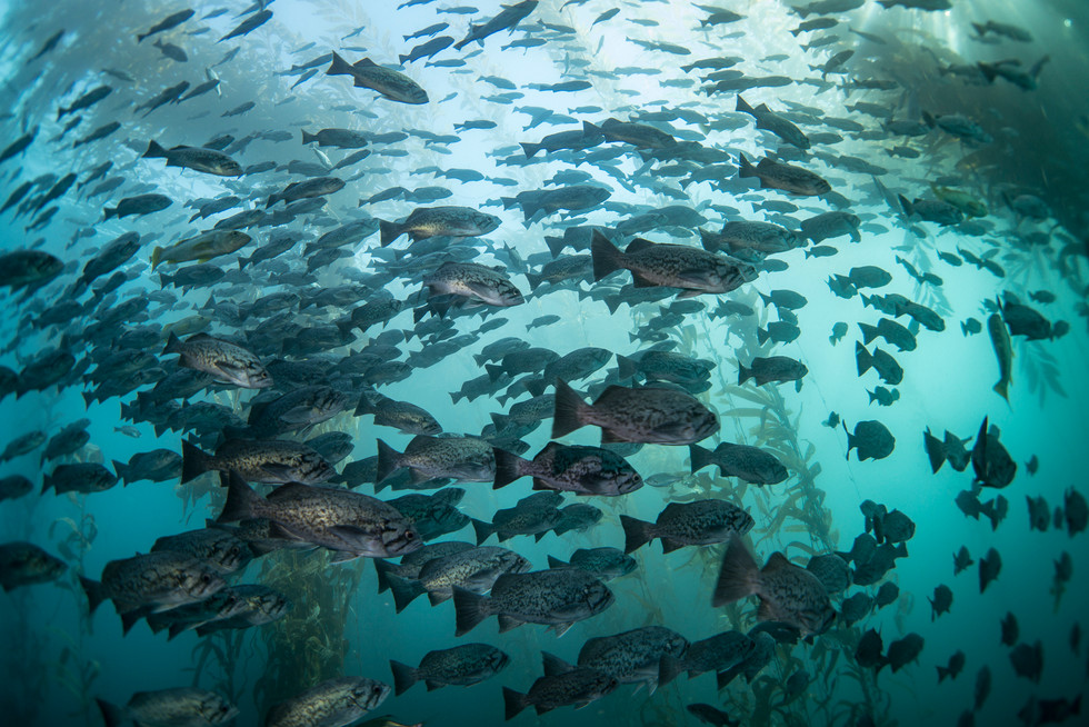 Schooling Blue Rockfish seeking refuge in a kelp forest off the coast of Central California.
