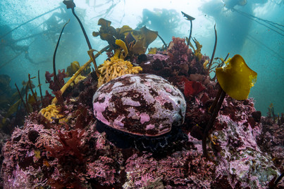 A healthy Red Abalone among multiple species of kelp off the southern coast of Mendocino, CA