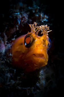 Yellowfin Fringeheads like this one often hide in small holes among the reef.