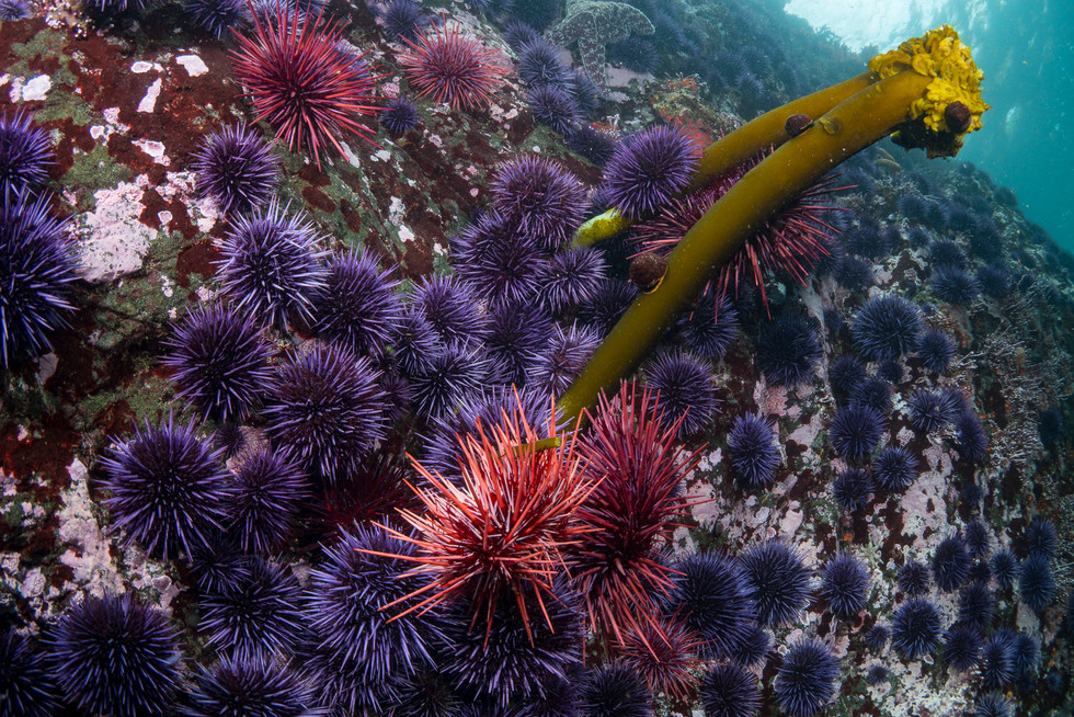 Urchins removing the last bit of kelp off a once healthy reef.