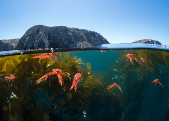Pelagic Tuna Crabs in a kelp forest off the Channel Islands, CA