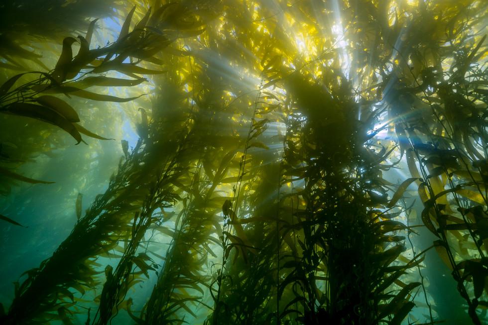 Giant Kelp, Southern California.