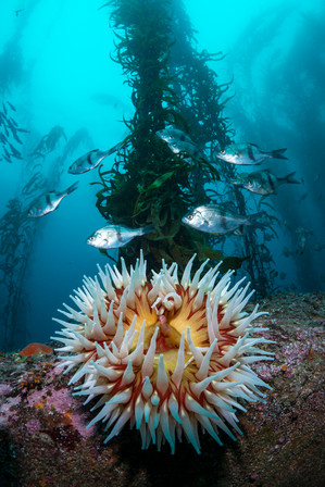 A Fish-Eating Anemone and Pile Perch beneath healthy columns of Giant Kelp.
