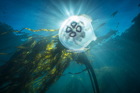 A Moon Jellyfish drifts through a forest of Bull Kelp off the coast of Big Sur, CA