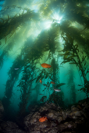 Reef scene under the kelp canopy in Southern California