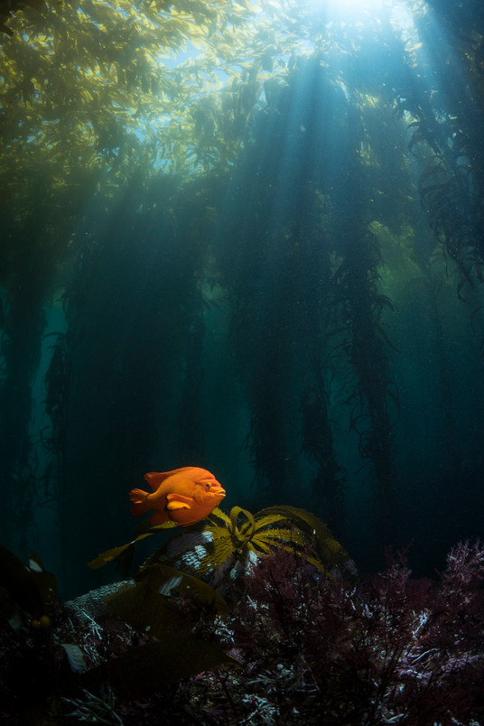 The sun shines down on a Garibaldi in a healthy forest of Giant Kelp off the Channel Islands