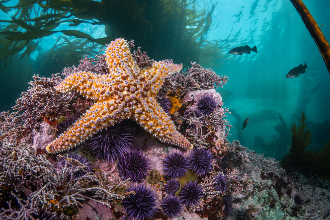 A Sea Star keeping the Purple Urchin population in check off the coast of Big Sur, CA