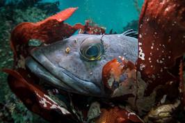 A Lingcod hiding among kelp in Carmel, CA