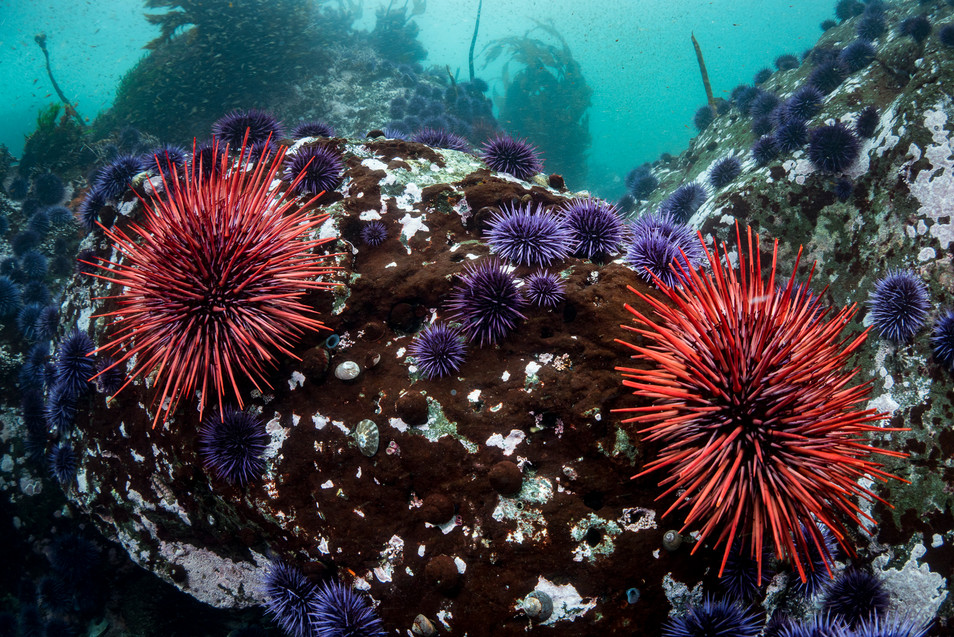 A southern Mendocino reef overrun by Sea Urchins.