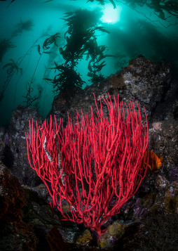 A large Red Gorgonian Sea Fan thriving deep under a healthy forest of Giant Kelp off the Channel Islands.