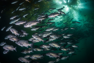 Blue Rockfish schooling beneath a healthy kelp canopy off the coast of Big Sur, CA