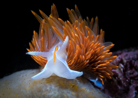 A Thick-Horned Nudibranch found in a Northern California Kelp forest.