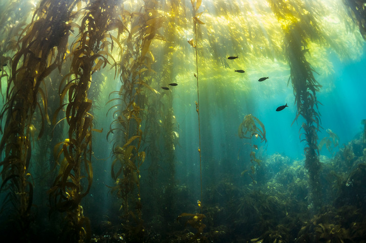 A healthy kelp forest off the Channel Islands, CA