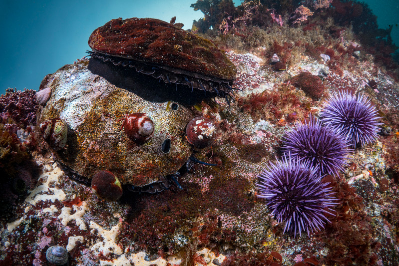 Two Red Abalone search for kelp to consume among Purple Urchins off the Mendocino Coast