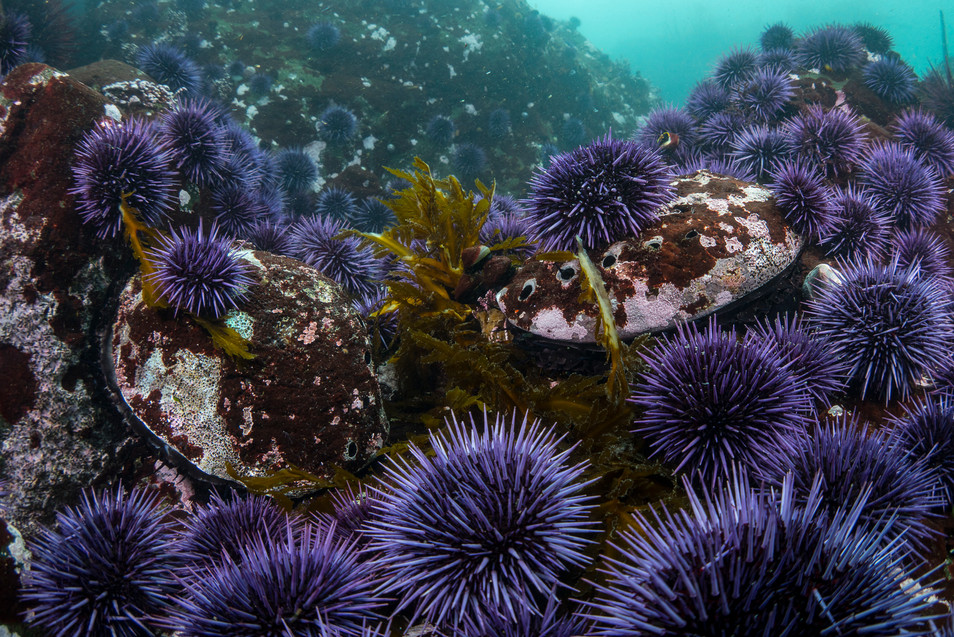 Hoards of Purple Sea Urchins swarming a reef and competing for food (kelp) with two Red Abalone.