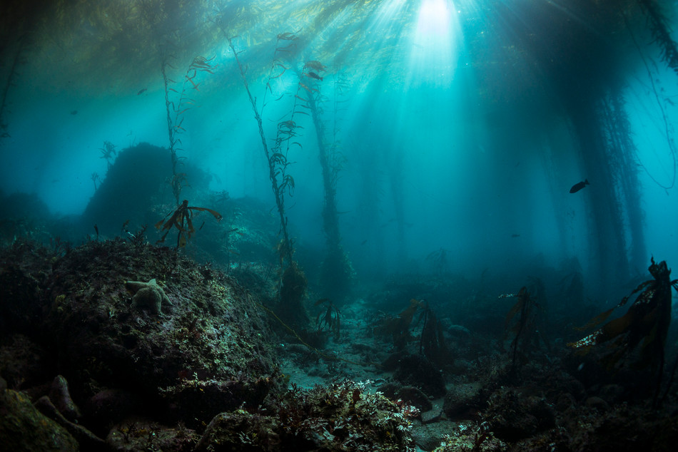 Cathedral lighting in a kelp forest off Carmel, CA