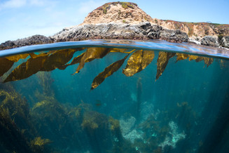 Healthy kelp on a reef off the coast of Big Sur, CA