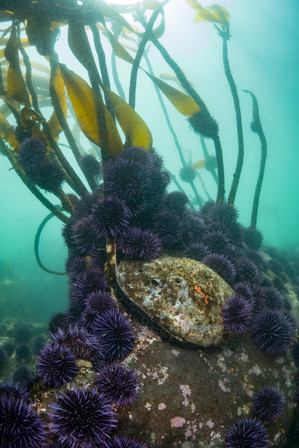 Urchins stopping a Red Abalone from reaching some of the last kelp on a reef off the Southern Oregon Coast.