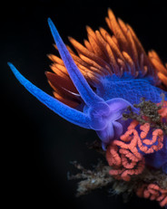 Small species sea slugs such as this Spanish Shawl Nudibranch are common finds in kelp forest ecosystems throughout Southern California.