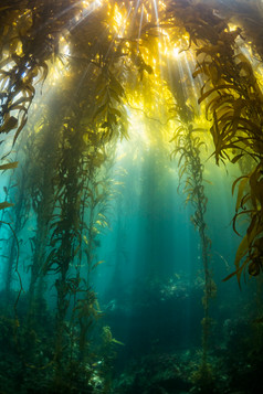 Sun shining down through a Southern California kelp canopy