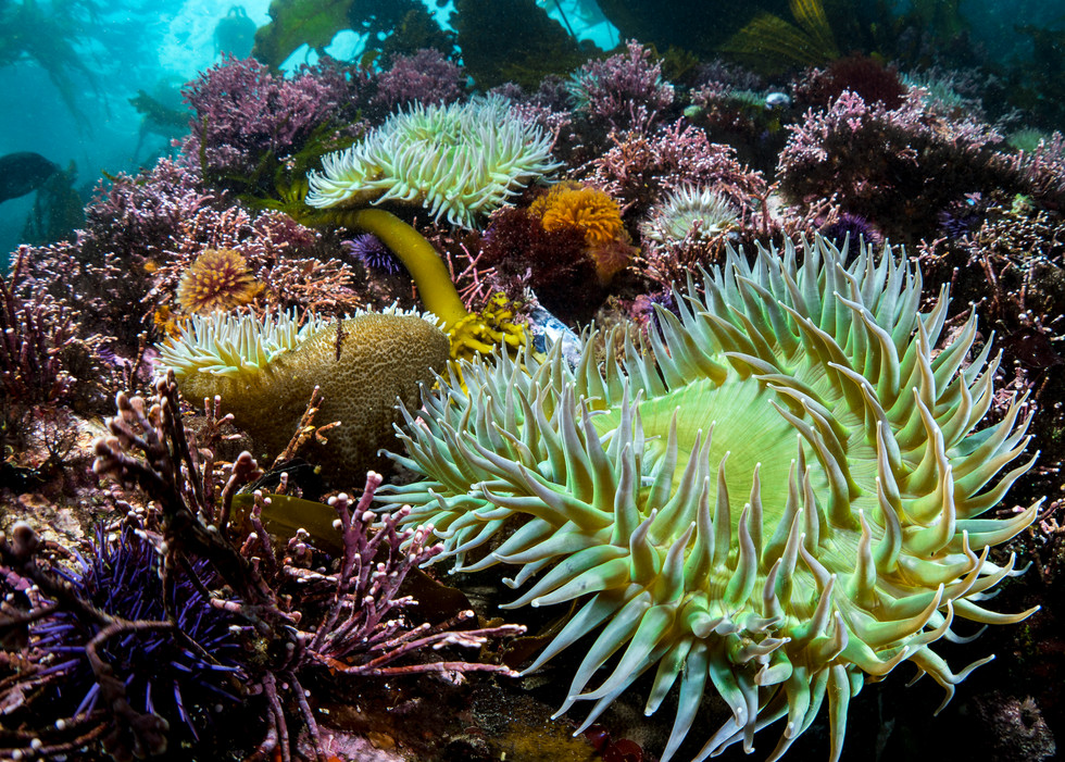 Colorful reef colors beneath the kelp off the coast of Big Sur, CA