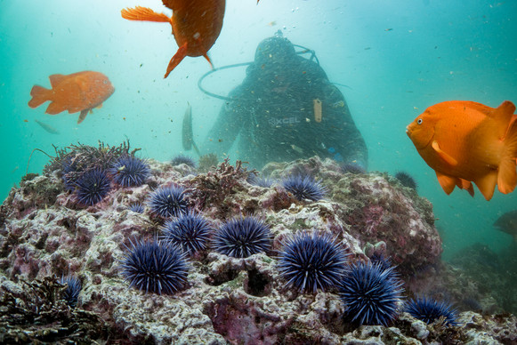 A scuba diver eradicates Purple Urchins in Palos Verdes, CA, as Garibaldi look on