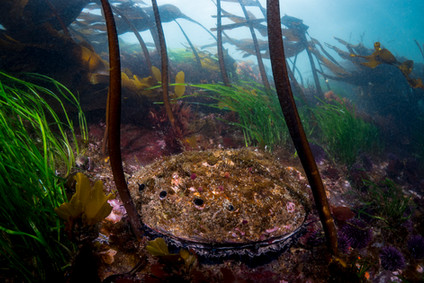 A Red Abalone feeding in the shallows off a Northern California reef.