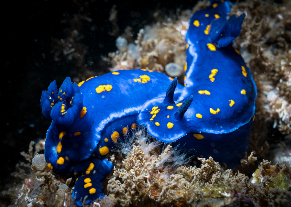 Two California Blue Dorid Nudibranchs find refuge in a healthy kelp forest off the coast of Santa Barbara CA