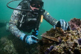 Purple Urchin eradication in Palos Verdes, CA