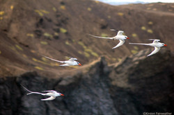 Amazing Red-billed tropicbirds