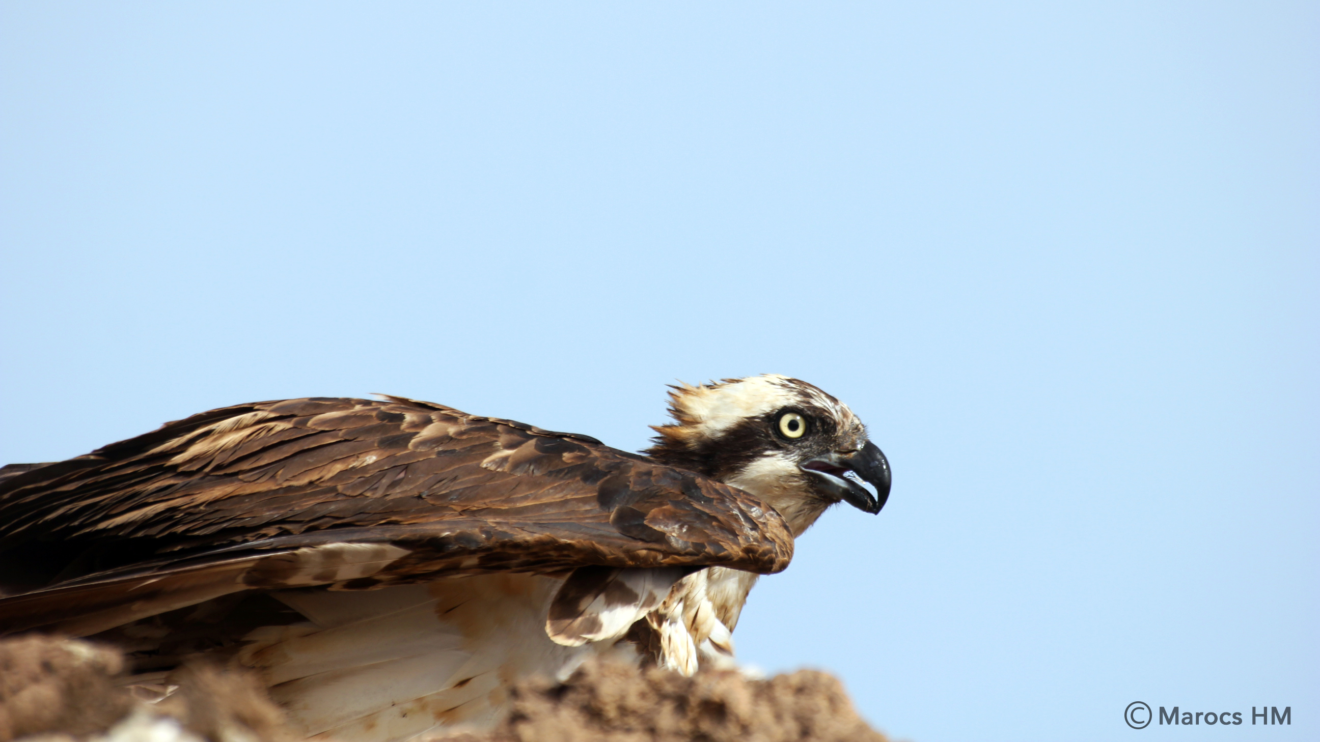 Incubating Osprey