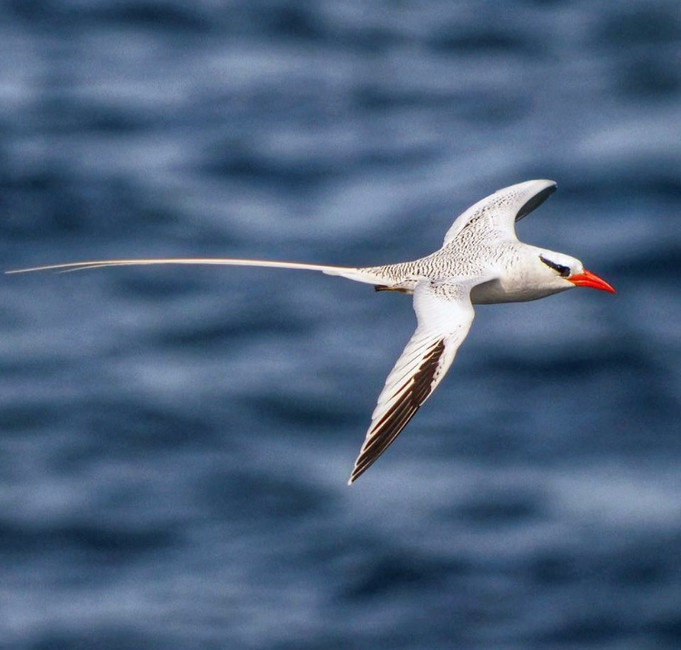 Tracking the Tropicbirds of Sal