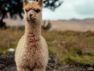 Llama antibodies? Why researchers say they could be powerful weapon against COVID-19