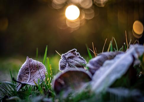 frosty leaves