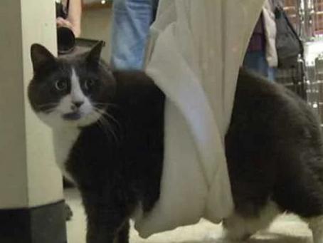Тяжеловесы милоты. Подборка котов с широкой костью.