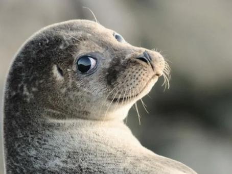 33 тюленя: сексуальные ластоногие.
