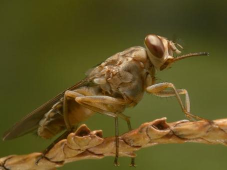 Трипаносомоз - паразиты в крови или почему боятся мух Цеце?