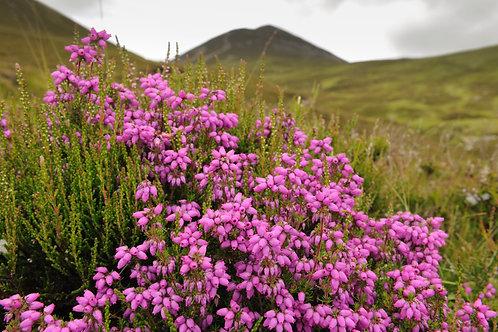 Шотландия с островами. Цветение вереска.