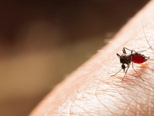Estudo reforça que mosquitos não podem transmitir Covid-19