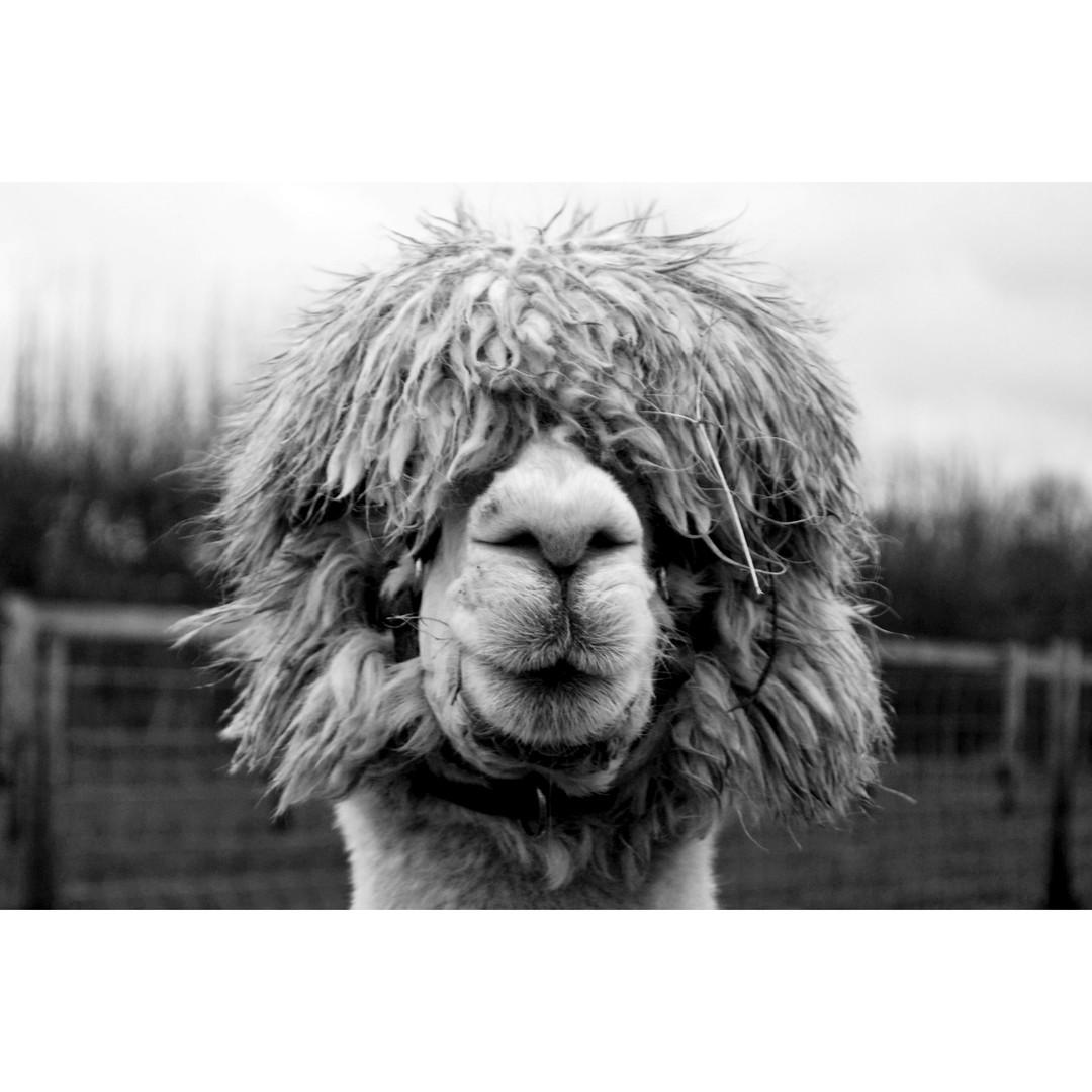 Alpaca Photo
