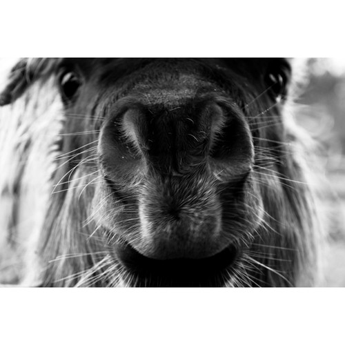 Mini Shetland Pony Photo