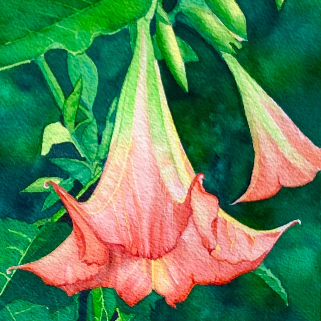 Thommen's Angel Trumpet