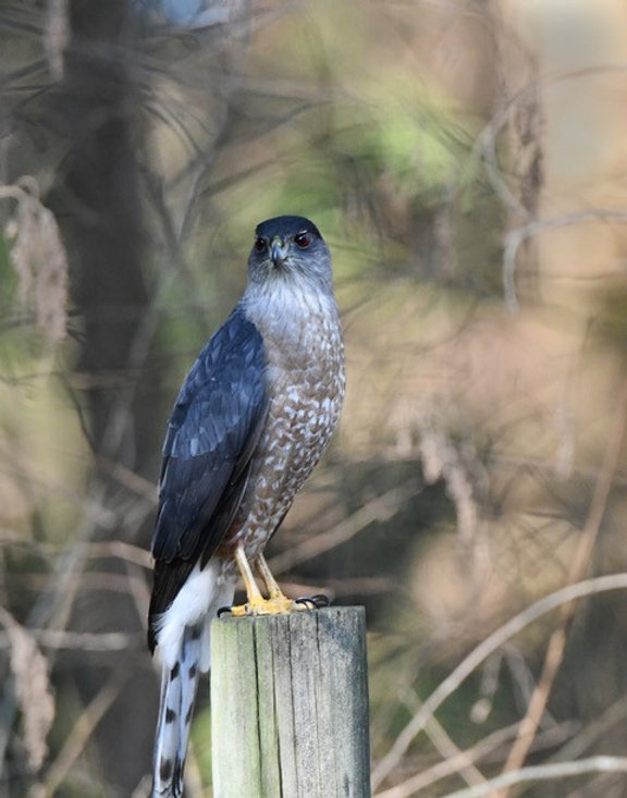 Coopers Hawk, photograph, Zbig Kasprzyk.