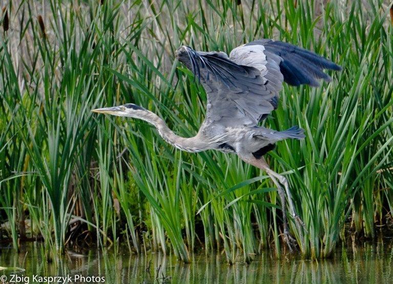 Taking Flight, Great Blue Heron, Bear Ri