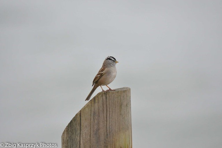 White crowned Sparrow on post.jpg