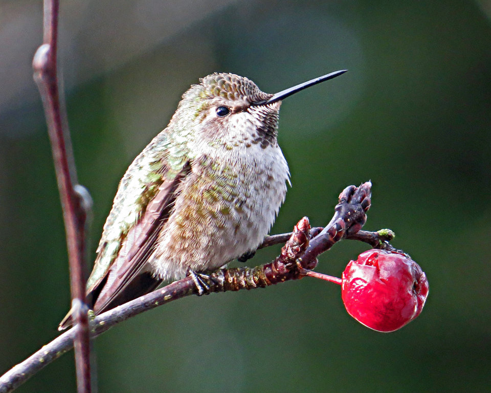 Rufous Hummingbird.JPG