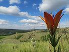 Western Red Lily.jpg
