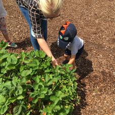 Strawberry picking.