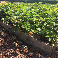 Our strawberry patch.